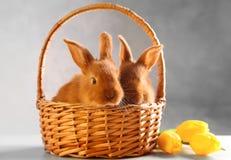在柳条筐的逗人喜爱的滑稽的兔子与郁金香 免版税库存照片