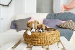 在柳条筐的逗人喜爱的滑稽的小狗在家 免版税库存图片