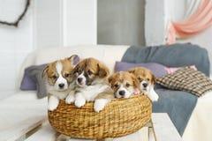 在柳条筐的逗人喜爱的滑稽的小狗在家 库存照片