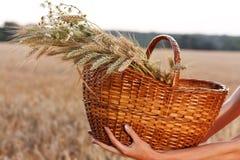 在柳条筐的麦子耳朵在妇女现有量。 收获概念 免版税库存照片