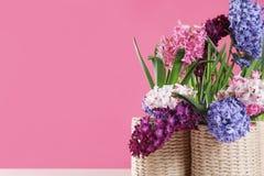 在柳条罐的美丽的风信花在反对颜色背景,文本的空间的桌上 免版税库存照片