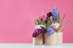 在柳条罐的美丽的风信花在反对颜色背景,文本的空间的桌上 免版税图库摄影