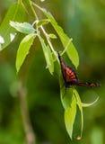 在柳树的总督蝴蝶 免版税库存图片
