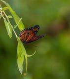 在柳树的总督蝴蝶 免版税库存照片