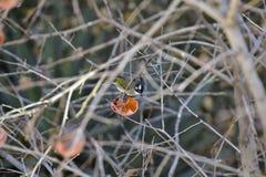 在柿树的帕鲁斯monticolus 免版税图库摄影