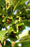 在柿树的花 免版税库存照片