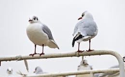 在标尺的两只海鸥 免版税图库摄影
