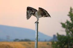 在标志栖息的白鹭的羽毛 库存图片