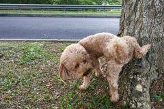 在标记疆土的树干的男性狮子狗小便 免版税图库摄影