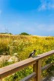在栏杆坐一只灰色乌鸦 免版税库存图片