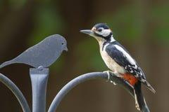 在栏杆栖息的伟大的被察觉的啄木鸟 库存照片