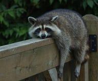 在栏杆的浣熊 库存照片