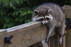 在栏杆的浣熊 库存图片