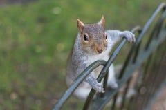 在栏杆的灰鼠 库存照片