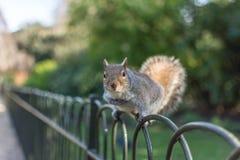 在栏杆的灰鼠 免版税图库摄影