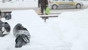 在栏杆的膨胀的鸽子在一寒冷冬天天在城市 股票视频