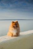 在栏杆的Pomeranian 免版税图库摄影