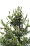 在树上面的瑞士五针松  库存照片