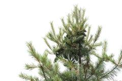 在树上面的瑞士五针松  库存图片