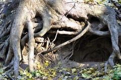 在树下根的洞野兽  免版税图库摄影