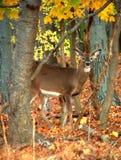 在树中的一头好奇鹿 库存图片