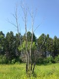 在树中的干燥树 免版税库存图片