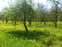 在树中的开花的蒲公英在城市停放 库存照片
