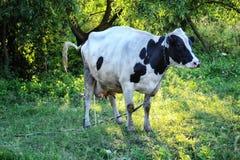 在树中的母牛皮西 免版税图库摄影