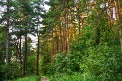 在树之间的密集的具球果森林阳光 夏天 俄国 免版税图库摄影