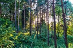 在树之间的密集的具球果森林阳光 夏天 俄国 免版税库存图片