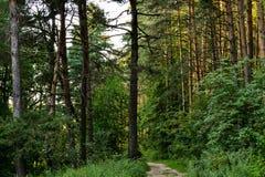 在树之间的密集的具球果森林阳光 夏天 俄国 库存图片