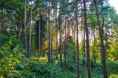 在树之间的密集的具球果森林阳光 夏天 俄国 免版税库存照片