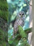 在树之间的条纹猫头鹰 免版税库存照片