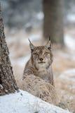 在树之间的欧亚天猫座在冬时 免版税库存照片