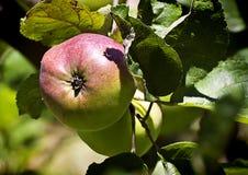 在树关闭的红色苹果 免版税库存照片