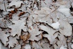 在树冰下的橡木叶子 免版税库存照片