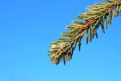 在树冰的云杉的分行从霜 免版税图库摄影