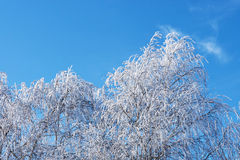 在树冰的桦树 库存照片