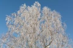 在树冰的桦树 图库摄影