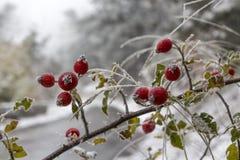 在树冰的狂放的玫瑰丛 免版税库存照片