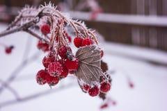 在树冰的红色花揪 免版税库存照片