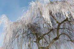 在树冰的老桦树 库存照片