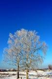在树冰霜的桦树 库存照片