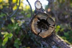 在树凹陷的树干 图库摄影