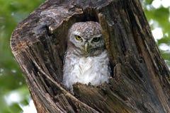 在树凹陷的被察觉的猫头鹰之子雅典娜布罗莫逗人喜爱的鸟 免版税库存照片
