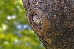 在树凹陷的被察觉的猫头鹰之子雅典娜布罗莫 图库摄影