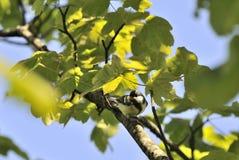 在树分支栖息的伟大的山雀  免版税库存图片