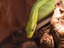 在树分支的东部绿眼镜蛇  免版税图库摄影