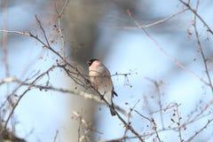 在树分支的欧亚红腹灰雀  免版税库存照片