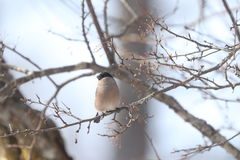 在树分支的欧亚红腹灰雀  免版税图库摄影